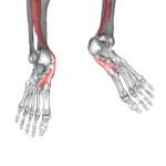 後脛骨筋10