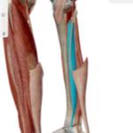 後脛骨筋image1